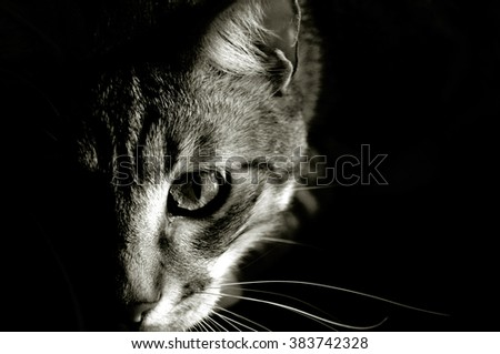 Black and white picture of grey tabby cat head, playing, horizontal. - stock photo