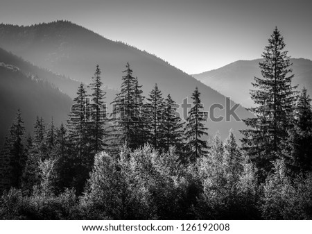 black and white picture of mountains in morning with firs in foreground - stock photo