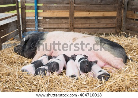 Black and white pigs in cage in straw - stock photo