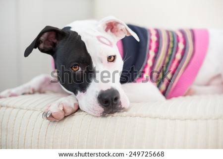 Black and white pit bull dog dressed in pink sweater for Valentine's day kissed on the face