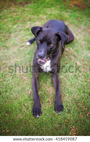 Black and White Pit Bull Mix