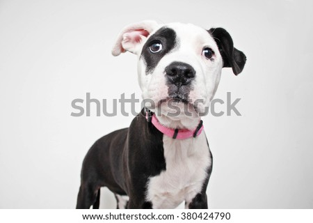 Black and white pitbull terrier mix puppy dog portrait isolated - stock photo