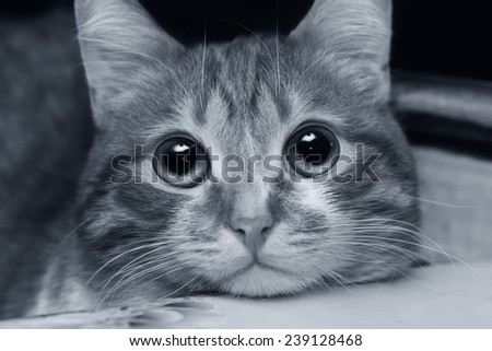 Black and white portrait of a cat looking at something very attentively - stock photo