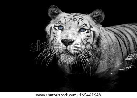 Black and white portrait of a White Tiger - stock photo