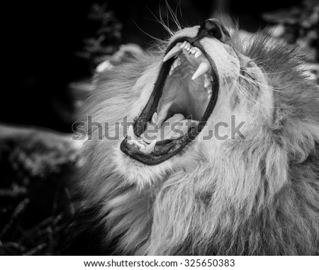 Black and white Portrait of  a wild roaring lion