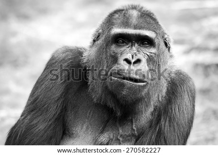 Black and white portrait of an adult female gorilla, Netherlands