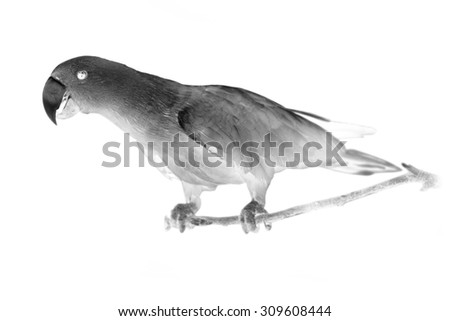 Black and white portrait of Chattering Lory Lorius standing on a branch. Invert image on white background - stock photo
