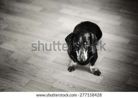 Black and White Portrait of Dachshund Dog sitting on a Floor. Selective Focus. - stock photo