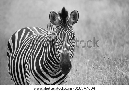 black and white portrait of one zebra in a field - stock photo