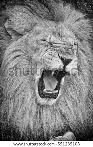 Black and white portrait of roaring lion