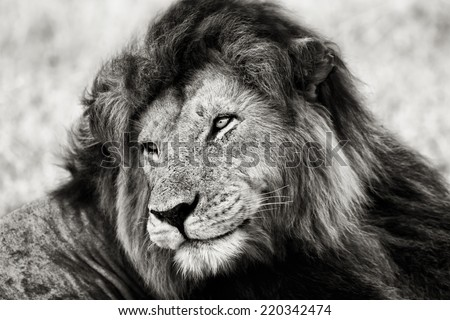 Black and white portrait of the legendary Lion Notch, Masai Mara, Kenya - stock photo