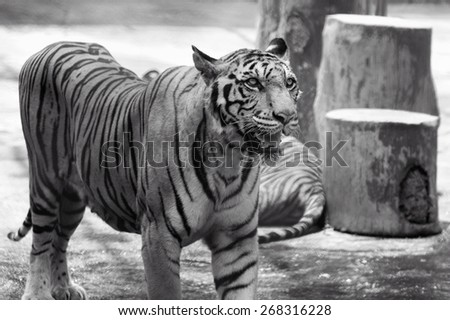 Black and white  portrait of tiger  - stock photo