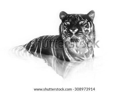 Black and white portrait of White tiger. Invert image on white background - stock photo