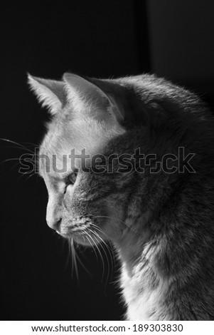 Black and white profile of a pretty cat - stock photo