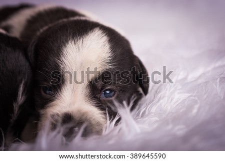 Black and white puppy laying on a white fuzzy blanket - stock photo