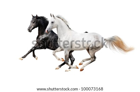 black and white pureblood horses - stock photo