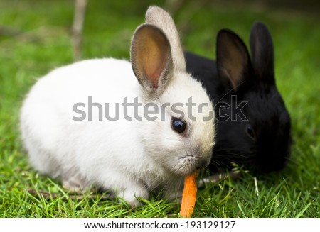 Black and white rabbit babies eating carrot
