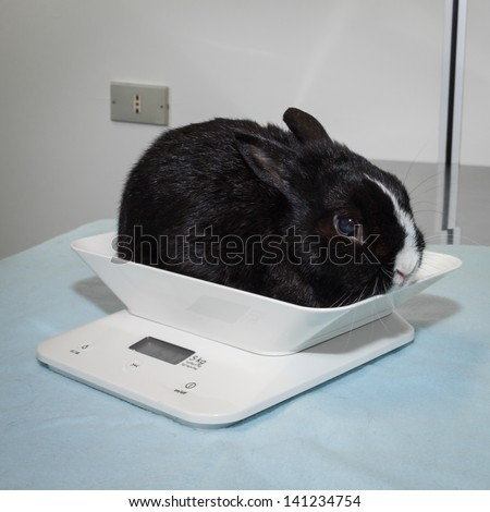 Black and white rabbit on veterinary scale