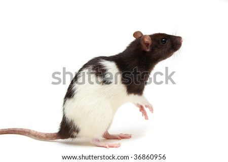 Black and white rat isolated on a white background - stock photo