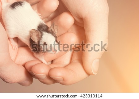 Black and white rat on human hands. Toned - stock photo