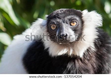 black and white ruffed  lemur - stock photo