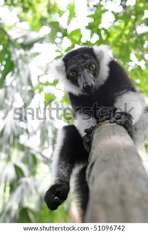Black and white ruffed lemur - stock photo