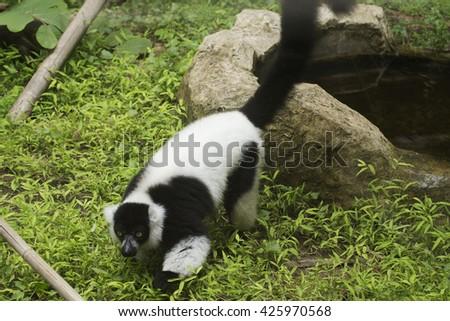 Black and white ruffed lemur on the floor - stock photo