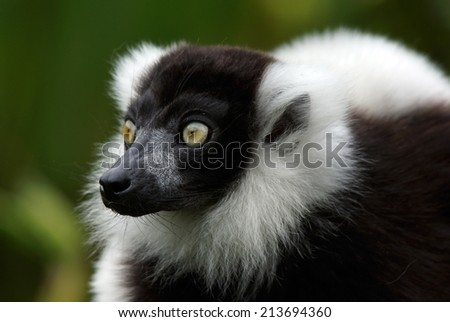 black-and-white ruffed lemur - [Varecia variegata]