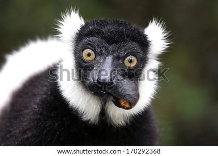 Black and White Ruffed Lemur with large round yellow eyes eating fruit - stock photo