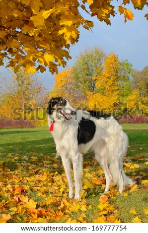 Black and white russian borzoi standing on yellow autumn leaves - stock photo