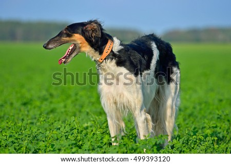 Black and white russian wolfhound dog on a green grass