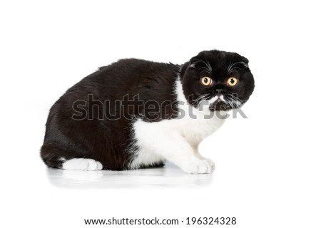 Black and white scottish fold  - stock photo