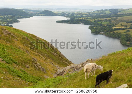 Black and white sheep elevated view of Ullswater Lake District Cumbria England UK in summer  - stock photo