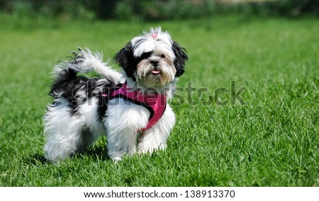 Black and white Shih Tzu puppy wearing her little pink harness outside in the Spring. - stock photo