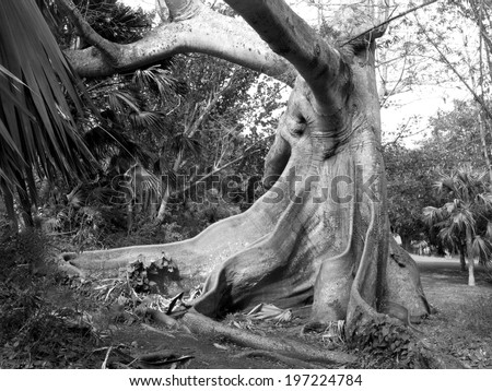 Black and white shot of a Kapok Tree in Bermuda - stock photo