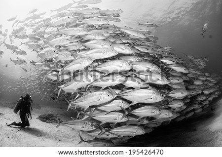 Black and white shot of Big eye Trevally Jack, (Caranx sexfasciatus) Forming a school, bait ball or tornado with a diver looking at it. Cabo Pulmo, The world's aquarium. Baja California Sur,Mexico.  - stock photo