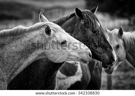 Black and White shot of two loving horses at a horse farm. - stock photo