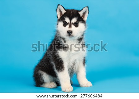 Black and white Siberian Husky puppy on blue background - stock photo