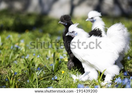 Black and white silkie hen expecting action - stock photo