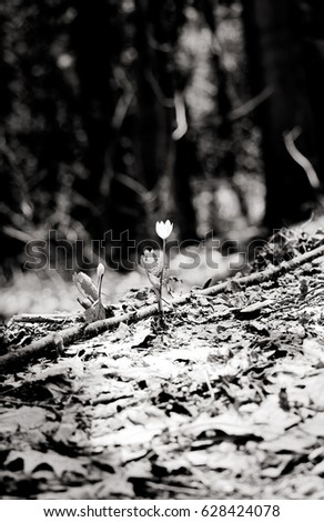 Black and White Small Spring Flower in the Forest