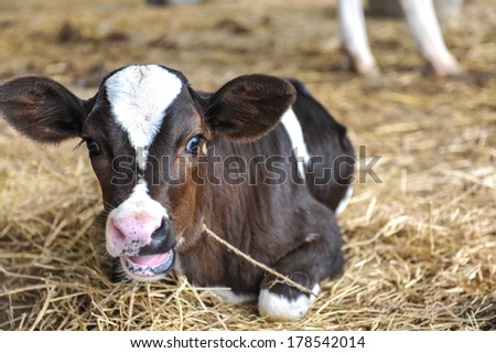 Black and white spotted young cow calf in hay - stock photo