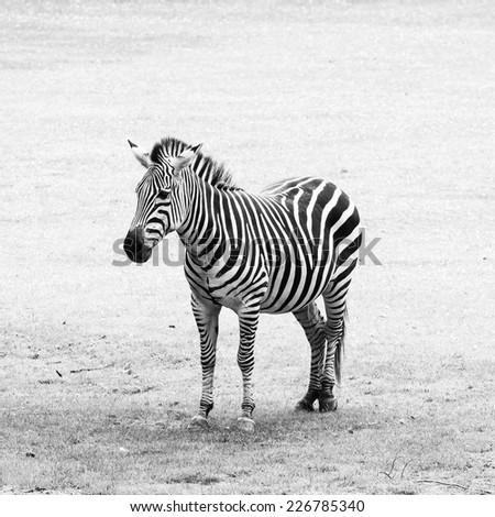 Black and white striped zebra. Portrait photo. - stock photo