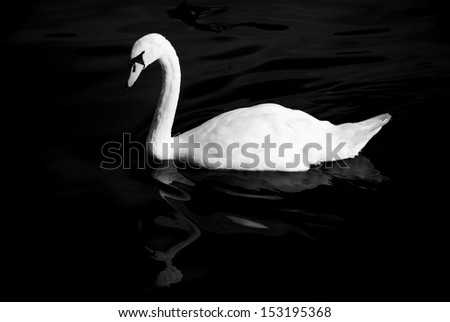 Black and white swan in dark water