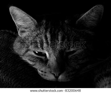 Black and white tabby cat - stock photo
