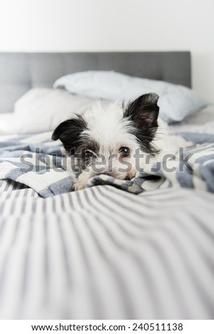 Black and White Terrier Mix Dog Relaxing on Owner's Bed  - stock photo