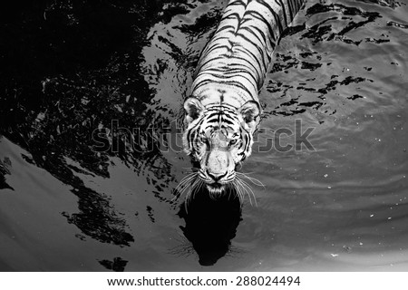 Black and White  tiger Walking Through in a water pool /Tiger in a water pool  - stock photo