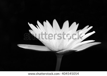 Black and white tone Lotus Flower, blurted ,soft focus, lotus,water lilly - stock photo