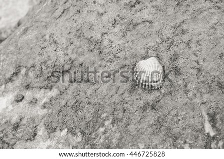 black and white top view of Acanthocardia tuberculata shell on the stone beach texture outside background - stock photo