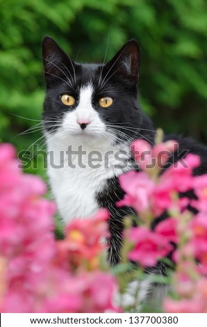 Black and white tuxedo cat looking through pink blossoms with prying eyes, portrait - stock photo