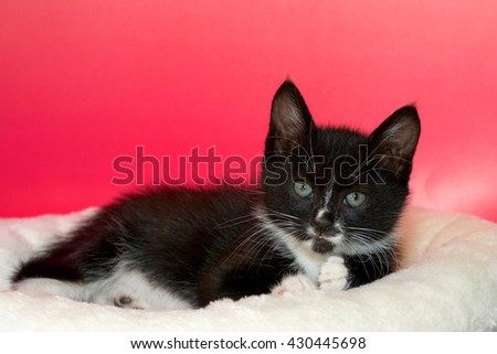 black and white tuxedo tabby cat laying on off white blanket pink textured background, looking forward - stock photo